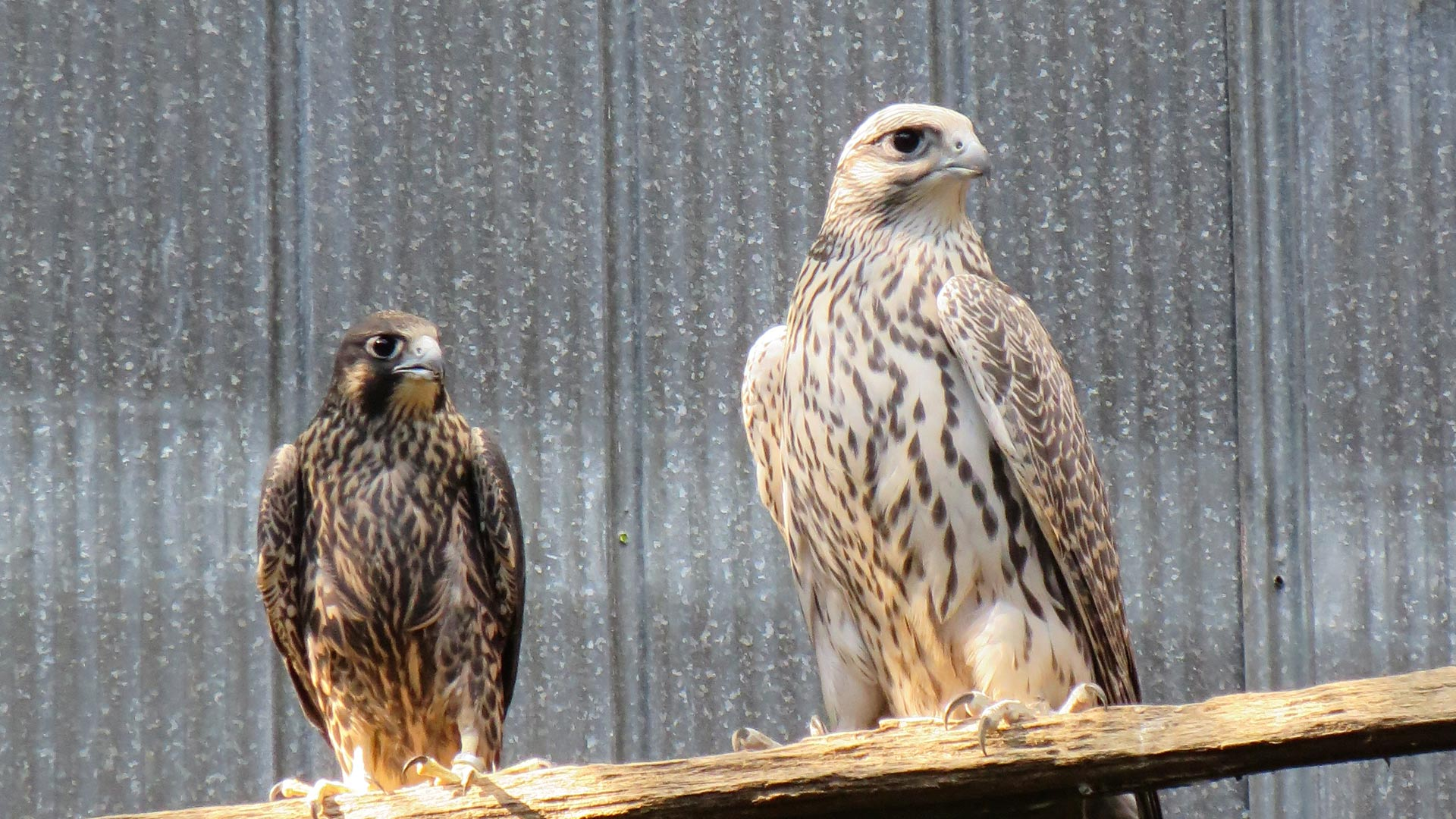 WHITE TAIL FALCONS