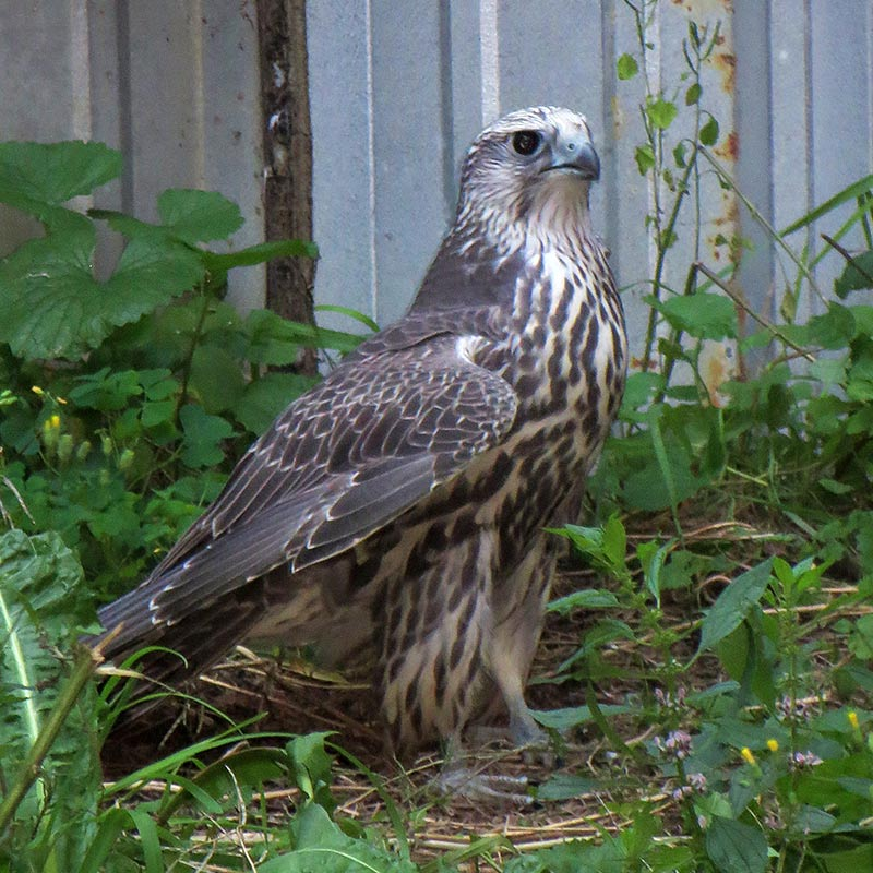 Gyr/Lenner Falcon - White Tail Falcons