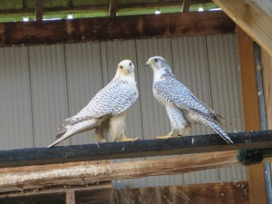 Breeding Pairs - White Tail Falcons